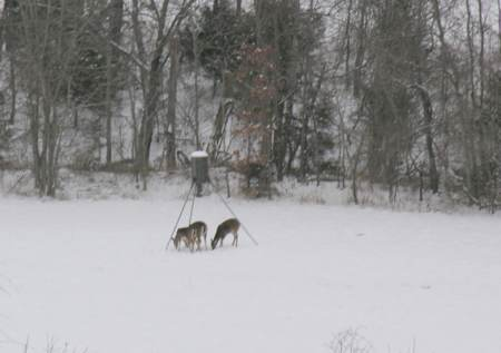 Deer enjoy the corn in winter