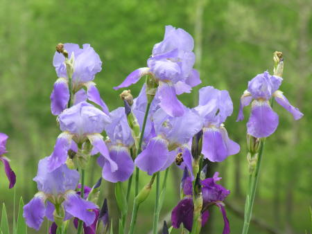 Here are the irises shot from the same location, but zoomed to 350mm
