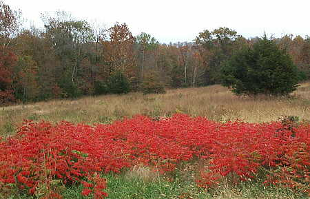 Dwarf Sumac in fall