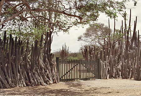 Mature natural cactus fence