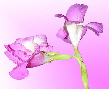 Gladiola with simple gradient background