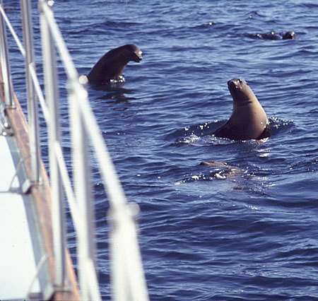 California Sea Lions frolic in the calm water off Anacapa Island