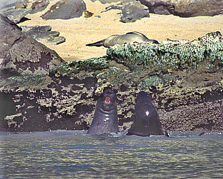 Elephant seals in play at Cuyler Harbor