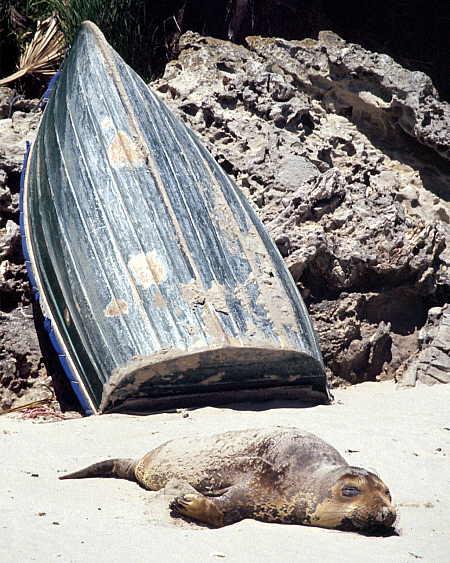 Elephant seal pup sun bathing at Cuyler Harbor