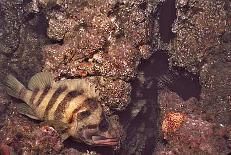 Treefish