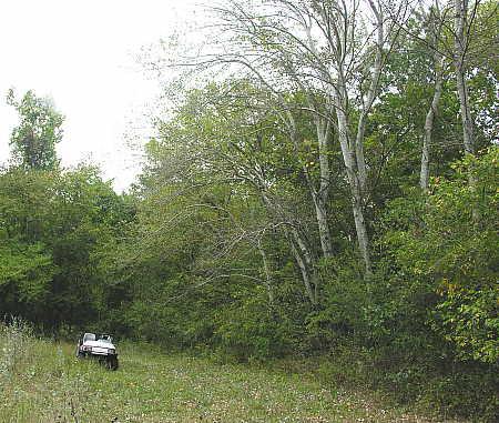 Grey Poplar grove