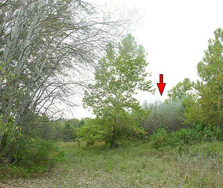 Spreading Silver Poplar grove