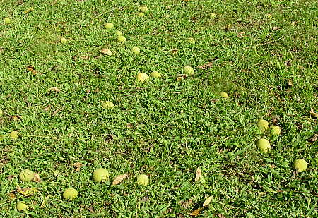 Black walnuts on ground