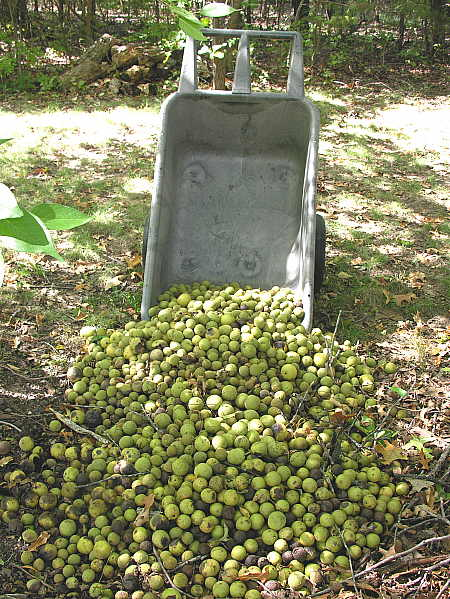 Pile of walnuts awaiting Jasper's arrival