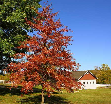Pin oak turning red