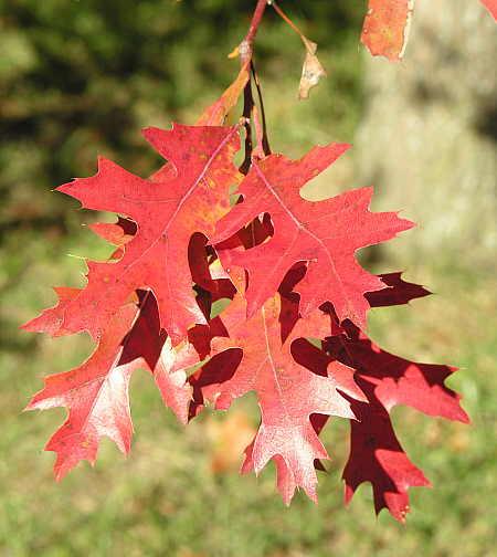 Pin oak leaves in early fall