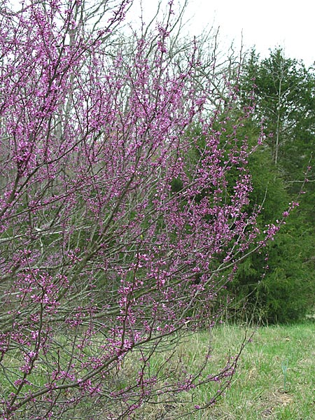 Redbuds are beginning to bloom