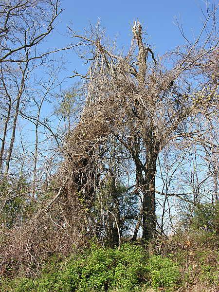 Grapevine encrusted oak tree