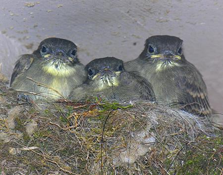 Flycatcher chicks