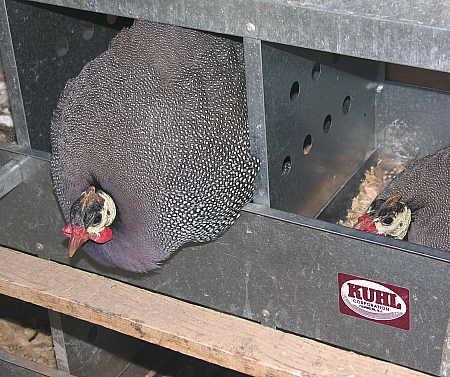 Broody guinea hens